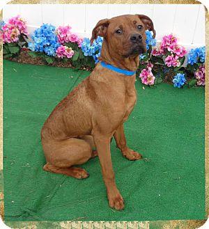 Boxer/Vizsla Mix Dog for adoption in Marietta, Georgia - TUCKER