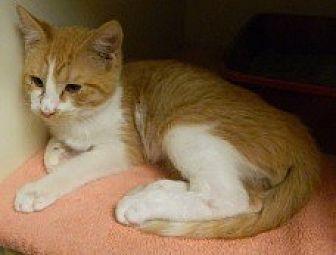 Domestic Shorthair Cat for adoption in Columbus, Nebraska - Ernie
