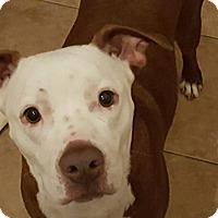 Adopt A Pet :: Amazing Anna - plano, TX