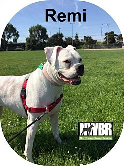 Boxer Dog for adoption in Woodinville, Washington - Remi