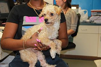 Poodle (Miniature) Mix Dog for adoption in Greensboro, North Carolina - Willy