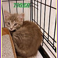 Adopt A Pet :: Tiger - Berkeley Springs, WV