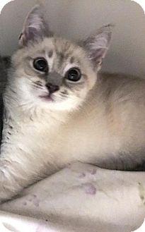Domestic Shorthair Kitten for adoption in Centreville, Virginia - Julip