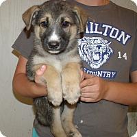 Adopt A Pet :: GSD PUPS B - Corona, CA
