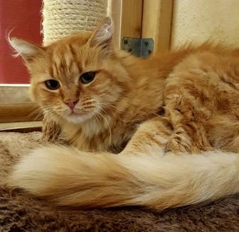 Domestic Longhair/Domestic Shorthair Mix Cat for adoption in Nogales, Arizona - Nala