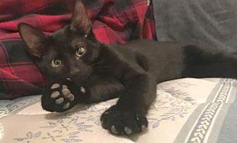 Domestic Shorthair Kitten for adoption in Devon, Pennsylvania - Kevin