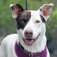 Adopt A Pet :: Leia - Pacific Grove, CA