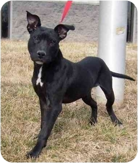 American Staffordshire Terrier Mix Dog for adoption in Radford, Virginia - Milton