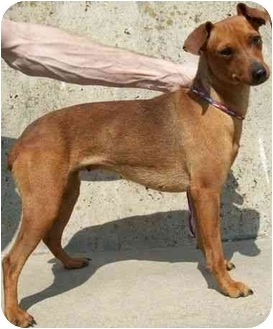 Miniature Pinscher/Dachshund Mix Dog for adoption in North Judson, Indiana - Candy