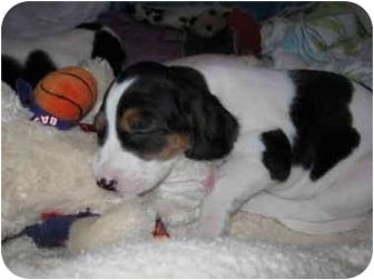 Beagle/Hound (Unknown Type) Mix Puppy for adoption in Richmond, Virginia - Iris