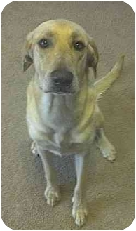 Labrador Retriever/Great Pyrenees Mix Dog for adoption in College Station, Texas - Sarge