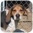 Photo 1 - Bluetick Coonhound/Treeing Walker Coonhound Mix Dog for adoption in Hayden, Idaho - Dan