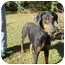 Photo 2 - Doberman Pinscher Dog for adoption in Green Cove Springs, Florida - Black Lace