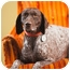 Photo 2 - German Shorthaired Pointer Dog for adoption in Portland, Oregon - Boudicca