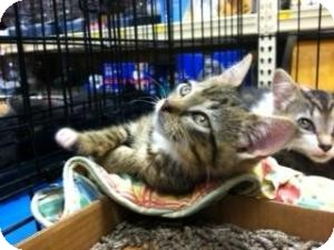 Domestic Shorthair Kitten for adoption in Cranford/Rartian, New Jersey - Louie