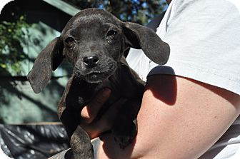 Catahoula Leopard Dog Mix Puppy for adoption in Baton Rouge, Louisiana - Bitsy