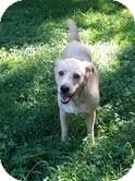 Labrador Retriever Mix Dog for adoption in Plainfield, Connecticut - Mama Penny