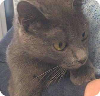 Russian Blue Cat for adoption in Washburn, Wisconsin - Sterling Silver