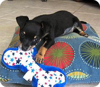 Chihuahua Mix Puppy for adoption in Wellington, Florida - LITTLE ELLIE