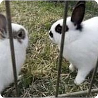 Adopt A Pet :: Lacey and Sarah - Maple Shade, NJ