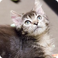 Adopt A Pet :: Whiskers - Chicago, IL