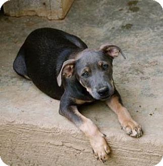 Weimaraner/Labrador Retriever Mix Puppy for adoption in Spring Valley, New York - Arianna