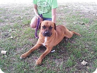 Shepherd (Unknown Type)/Mastiff Mix Dog for adoption in Tallahassee, Florida - Sonny - URGENT