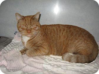 Domestic Shorthair Cat for adoption in Tyner, North Carolina - Garfeild