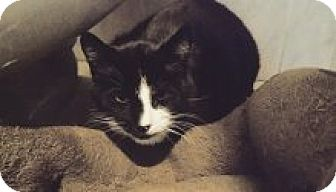 Domestic Shorthair Cat for adoption in Manchester, Connecticut - Badger