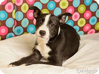 Terrier (Unknown Type, Small) Mix Puppy for adoption in Baton Rouge, Louisiana - Ollie
