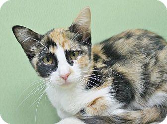 Domestic Shorthair Kitten for adoption in Benbrook, Texas - Calypso