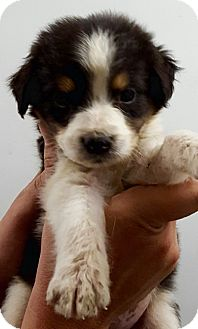 "Australian Shepherd/Border Collie Mix Puppy for adoption in Oswego, Illinois - Fantastic FUR ""Storm"""