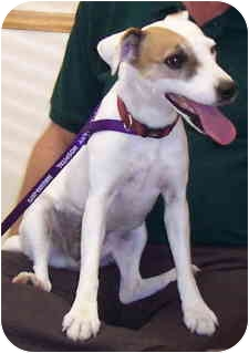 Jack Russell Terrier Dog for adoption in Phoenix, Arizona - GINGER
