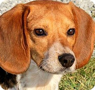 Beagle Dog for adoption in Winchester, Kentucky - ERNIE & BERT(LOST THEIR FAMILY