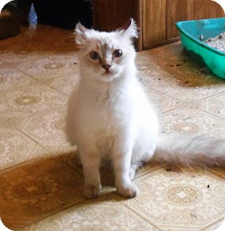 Siamese Cat for adoption in Parkton, North Carolina - Opal