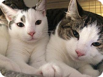 Domestic Mediumhair Kitten for adoption in Woodstock, Virginia - Diamond, Ruby, Opal