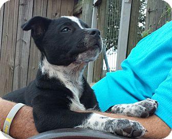 Australian Cattle Dog/Labrador Retriever Mix Puppy for adoption in Orange Lake, Florida - Dallas