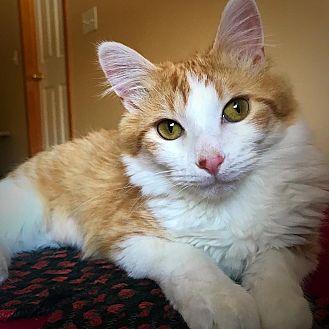 Domestic Mediumhair Kitten for adoption in Eagan, Minnesota - Star
