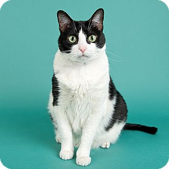 Domestic Shorthair Cat for adoption in Wilmington, Delaware - Emma