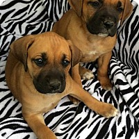 Adopt A Pet :: Boxer Mix Litter - East Hartford, CT