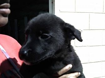 Labrador Retriever Mix Dog for adoption in Orangeburg, South Carolina - Oscar