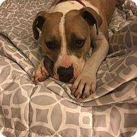 Adopt A Pet :: Jade - Fenton, MO