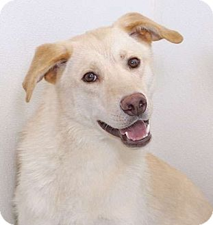 Labrador Retriever/Husky Mix Dog for adoption in Sudbury, Massachusetts - Lyle