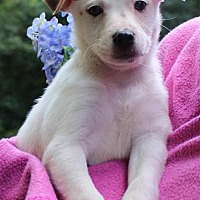 Adopt A Pet :: Pippa - Hopewell Junction, NY