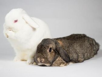 Lop, Holland/Other/Unknown Mix for adoption in Kingston, Ontario - Pepper