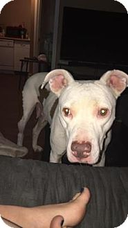 Pit Bull Terrier Mix Dog for adoption in Mission, Kansas - Knuckleheads Saloon
