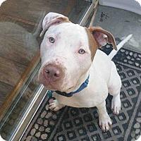 Adopt A Pet :: Archie fka Tommy Boy - Ardsley, NY