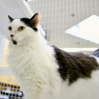 Turkish Van/Domestic Shorthair Mix Cat for adoption in Carrollton, Texas - Lily