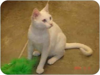 Domestic Shorthair Cat for adoption in San Diego, California - Sonny Blue