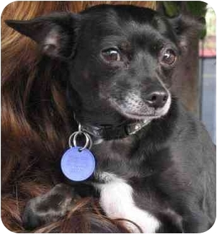 Chihuahua Dog for adoption in Poway, California - CHRISTINE